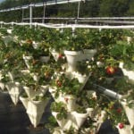 Hydroponic strawberries from Seneca Breeze near Penn Yan.