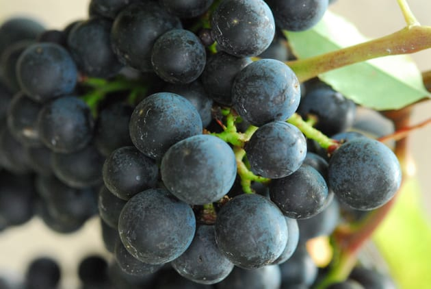 Concord grapes bound for pie