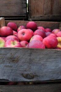 Apple Fritters // Edible Finger Lakes