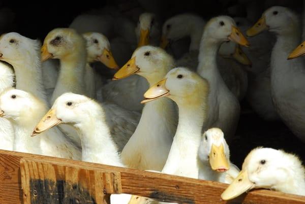 Pan-Seared Duck Breast with Sweet Potato Sticks